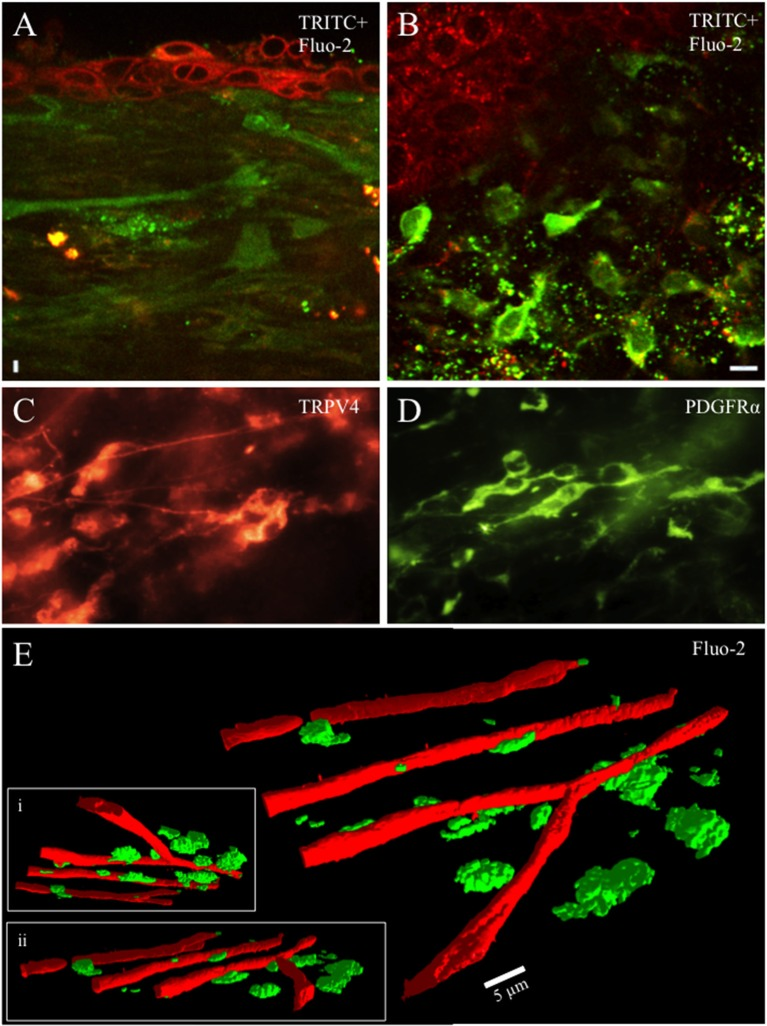 Whole mounts of urinary bladder tissue were prepared at the urothelial-lamina junction and contained a dense network of capillaries, small blood vessels and cells from rat pups aged ≤ P21. Capillaries, blood vessels and cells were loaded with the fluorescent dye (Fluo-2, green) (A , B,E) . Tetramethylrhodamine (TRITC; red) was picked up by urothelial cells and provided contrast to Fluo-2 loaded cells (A , B) . The cellular network in the lamina propria was heterogeneous with numerous small round, stellate or spindle shaped cells (10–20 μm) with multiple processes projecting from the soma in rat pups aged P ≤ 21. Numerous cells in the lamina propria exhibited PDGFRα-immunoreactivity (IR) whereas fewer cells exhibited TRPV4-IR (C,D) . At the urothelial-lamina propria junction, a dense capillary network was in close proximity to the network of cells expressing PDGFRα- and TRPV4-IR (E) . Capillaries were isolated using their signature, long tubular shape in the PTCL analysis software and recolored red to distinguish them from lamina propria cells. 3-D images of the capillary network and the lamina propria cell network at different angles of rotation (E , i , ii) . Calibration bar in (B) represents 10 μm (A , B) , 15 μm (C , D) . Calibration bar in (E) represents 5 μm.