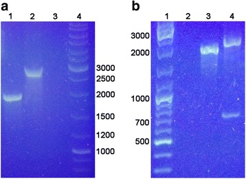 Confirmation of the mutation in PA14Δ hepP . PA14 and PA14Δ hepP were grown in LB broth and the chromosomal DNA was extracted. a PCR analysis to detect the presence of MAR2xT7 within hepP . PCR reactions were run using the chromosomal DNA from each strain as a template and primers corresponding to the DNA sequences 94 bp upstream and 179 bp downstream of the hepP structural gene ( zbdP- For3/ hepP- Rev3, Table 2 ). The expected 1926-bp fragment from PA14 (lane 1) and the 2920-bp fragment (the additional 994 bp from MAR2xT7 ) from PA14Δ hepP (lane 2) were detected. Lane 3 is a no-template control and the molecular size standards are in lane 4. b Restriction analysis of the PCR products. The coding sequence for hepP does not contain an EcoR V restriction enzyme site, while MAR2xT7 contains a single EcoR V site. Digestion of the PCR products with EcoR V failed to reduce the size of the 1926-bp fragment obtained from PA14 (lane 3) but resulted in the cleavage of the product obtained from PA14Δ hepP into the expected 800 bp and 2120 bp fragments (lane 4). Lane 1 contains the molecular size standards; lane 2 was left empty