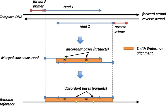 Canary read alignment. Overlapping <t>amplicon</t> reads are aligned to the reference genome in a two step process. The overlapping read pairs, that are derived from the same DNA molecule, are aligned to each other to form a single consensus merged read which is then aligned to a reference genome to identify variants
