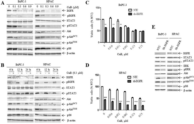 CuB suppresses EGFR levels and downstream PI3K/Akt/mTOR and STAT3 signaling ( A ) BxPC-3 and HPAC cells were treated with vehicle control or CuB for 24 h. Whole cell lysates were analyzed by Western blotting and probed with the indicated antibodies. ( B ) BxPC-3 and HPAC cells were treated with 0.3 µM CuB for up to 24 h. Cells were harvested and lysed. Protein extracts were analyzed by Western blotting and probed with the indicated antibodies. ( C and D ) BxPC-3 and HPAC cells were infected with EGFR (EGFR-shRNA) or non-target control shRNA lentivirus (NTC-shRNA). EGFR-shRNA or NTC-shRNA groups were cultured with CuB for 24 h. Cell viability was determined daily using the MTT assay. Data are presented as the mean ± standard error from at least 3 independent experiments. Statistical significance was calculated using the pair-wise 2-sample t -test. *** indicates p