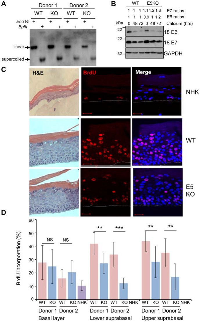 HPV18 E5 contributes towards unscheduled host cell DNA synthesis upon keratinocyte differentiation (A) Southern analysis of equal amounts of total DNA extracted from NHK transfected with wild-type (WT) or mutant (E5KO) genomes in two different donors. DNA was digested with Dpn I (digests input DNA) together with Bgl II which does not digest HPV18 DNA or Eco RI which linearizes HPV18 genomes. (B) Detection of E6 and E7 proteins in equal amounts of Triton-X100 detergent soluble protein lysates prepared from cells differentiated in high-calcium monolayer cultures. Levels of GAPDH were used as a loading control. Densitometry analysis of protein bands was performed using ImageJ software. (C) Organotypic rafts were incubated with BrdU to identify nuclei positive for cellular DNA synthesis. BrdU positive cells were visualised with an anti-BrdU antibody (red) and nuclei visualised with DAPI (blue). White dotted lines indicate the basal cell layer. Red scale bar represents 20 μm. Organotypic raft cultures were also stained with haematoxylin and eosin to observe the gross morphology of the epithelium. (D) Graphs showing the percentage of BrdU positive nuclei in basal and lower suprabasal and upper suprabasal layers. The data, shown as a mean with standard deviation, were derived from 15 fields of view of each raft and from 3 independent experiments from two donors cell lines. Significance as determined by Student's t-test is shown as ** = p
