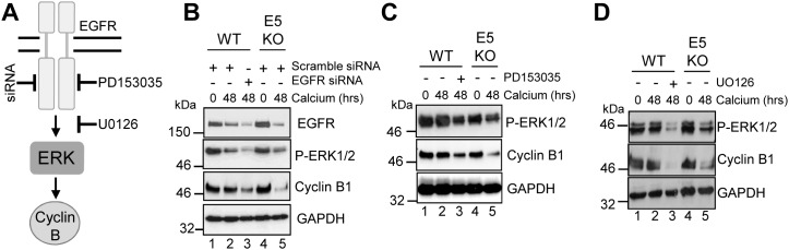 HPV18 requires EGFR activation to maintain cyclin B1 expression in differentiating cells (A) Schematic showing the EGFR/ERK signalling pathway and the targets of the siRNA and inhibitors used in this study. Mock treatedkeratinocytes were differentiated in high calcium media and lysed after 48 hours. In parallel, <t>keratinocytes</t> were treated with (B) scramble or EGFR specific siRNA, (C) an EGFR kinase inhibitor (2 μM PD153035), or (D) a Mek1/2 kinase inhibitor (20 μM UO126) during differentiation. All samples were analysed for cyclin B1 and phosphorylated ERK1/2 expression. GAPDH served as a loading control. Representative blots are shown from at least three independent biological repeats from two donor lines.