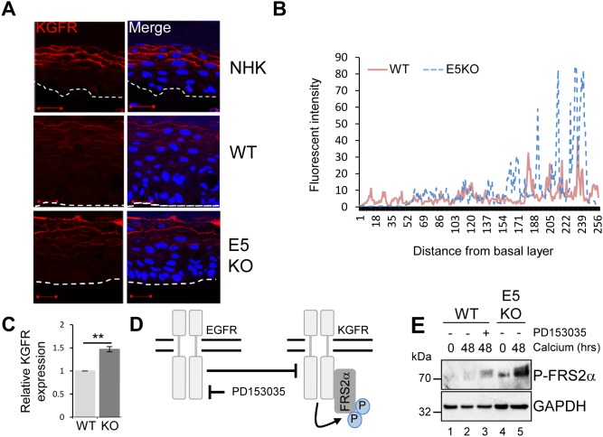 HPV18 E5 inhibits the KGFR signalling pathway (A) Organotypic raft cultures stained for KGFR expression (red) and nuclei stained with DAPI (blue). White dotted lines indicate the basal cell layer. Red scale bar represents 20 μm. Images are representative of staining from two donors. (B) Histogram analysis of the staining intensity from WT and E5KO rafts. Data was derived from 5 fields of view from three independent experiments, from two donors. (C) Graph showing relative KGFR mRNA expression in differentiated WT and E5KO keratinocytes after 96 hours incubation in high calcium media. Results were corrected for expression of an U6 loading control. The data is shown as a mean and standard deviation from three independent biological repeats from two donors. Significance as determined by Student's t-test is shown as ** = p