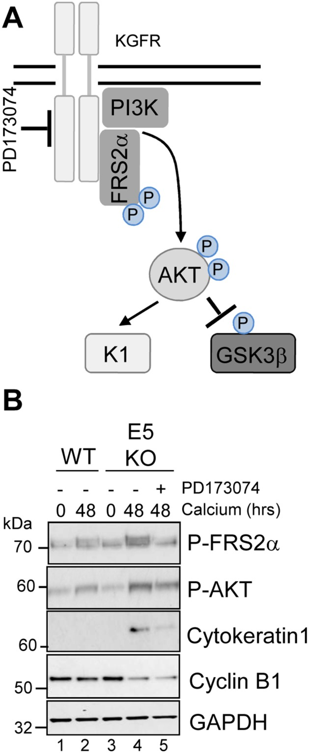 Pharmacological inhibition of KGFR activity compensates for loss of E5 and impairs keratinocyte differentiation (A) Schematic showing the KGFR signalling pathway and target of the pharmacological inhibitor. (B) Control (vehicle only) keratinocytes were differentiated in high calcium media and lysed after 48 hours. Parallel cultures of E5KO keratinocytes were treated with 30 nM of a KGFR kinase inhibitor (PD173074). Lysates were analysed for the phosphorylated forms of FRS2α, AKT, GSK3α/β, cytokeratin 1 (K1) and cyclin B1 by immunoblot.