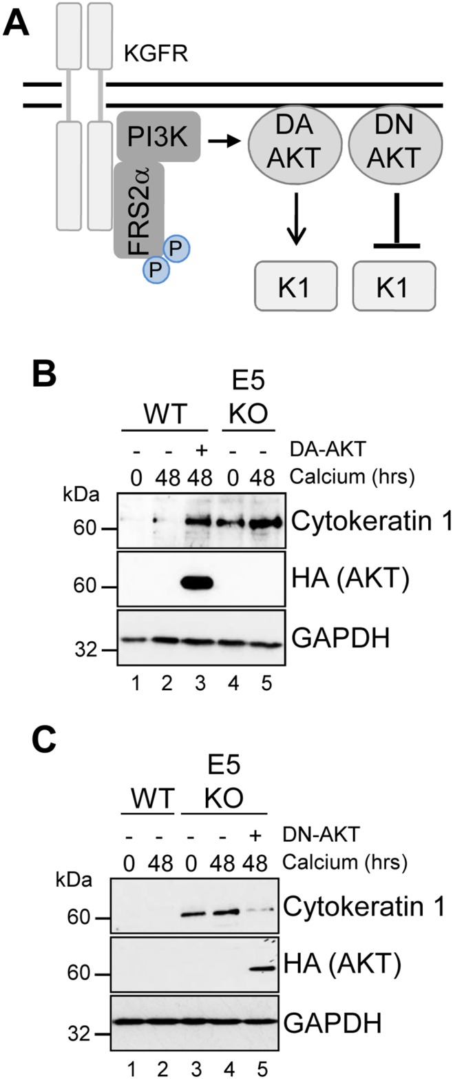 <t>AKT</t> is essential for the modulation of keratinocyte differentiation by HPV18 (A) Schematic showing the KGFR signalling pathway and the effects of the dominant active (DA) and negative (DN) AKT. HPV18 genome containing keratinocytes were infected with empty <t>retrovirus,</t> or with retroviruses encoding DA AKT (B) or DN AKT (C) . Cells were differentiated in high calcium media for 48 hours prior to lysis and analysed for expression of cytokeratin 1 (K1) to assess differentiation. Expression of the exogenous AKT was confirmed using an antibody against the HA epitope and GAPDH served as a loading control.