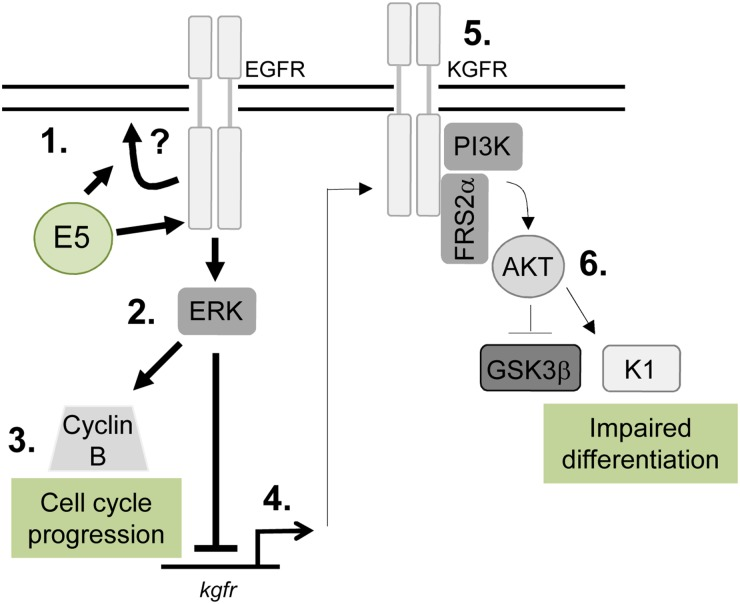 Schematic model depicting the proposed role of EGFR signalling in the E5-mediated manipulation of proliferation and differentiation pathways during the virus life cycle E5 expression results in enhanced EGFR surface expression and activation, through a process that might require endosome recycling (1). This increases ERK/MAPK activity (2), resulting in activation of substrates, which include cell cycle associated proteins e.g. cyclin B (3). EGFR can suppress keratinocyte differentiation, by inhibiting a number of targets including the KGFR pathway. KGFR transcription is suppressed in E5 expressing cells (4) and KGFR signalling is markedly reduced (5). As a consequence, targets of KGFR including Akt are suppressed, culminating in loss of expression of a number of spinous associated differentiation markers e.g. cytokeratin 1 (K1) (6). As a result keratinocyte differentiation is impaired in cells expressing E5.