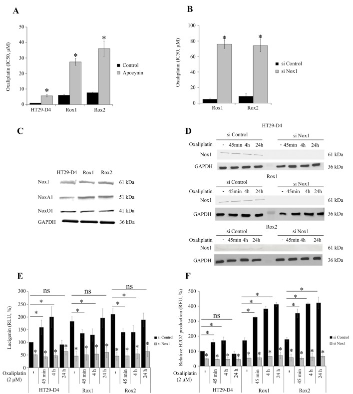 Implication of Nox1 in oxaliplatin-induced ROS production and cytotoxicity The effects of oxaliplatin on cell viability were studied with HT29-D4, Rox1 and Rox2 cells treated with apocynin (A) or transfected with control siRNA (si Control) or Nox1 specific siRNA (si Nox1) (B) . HT29-D4, Rox1 and Rox2 cells were lysed, and equal amounts of cellular proteins were processed for immunoblotting using the antibodies against Nox1, NoxA1, NoxO1 and GAPDH (C) . HT29-D4, Rox1 and Rox2 cells were transfected with control siRNA (si Control) and Nox1 specific siRNA (si Nox1). The cells were lysed, and equal amounts of cellular protein were processed for immunoblotting using the antibodies against Nox1 (D) . Transfected cells were also seeded in white 96-well plates to perform lucigenin assays ( E ) and in black 96-well plates to perform Amplex red assay (F) . These cells were treated with 2 μM oxaliplatin over time (- untreated, 45 minutes (45 min), 4 hours (4h) and 24 hours (24h)). Asteriks indicate a statistical significance with p