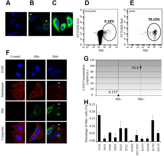 Shh+ cells produce Shh and are rare in vitro (A-C) Immunofluorescence (IF) analysis of A549 cells relative to the unstained controls (A: only secondary antibody) without membrane permeabilization (B) shows positive Shh (green) and nuclear staining (blue, DAPI). White arrows: positive membranous Shh staining in relatively few cells. (C) IF analysis of A549 cells with membrane permeabilization (Triton X-100) shows positive Shh (green) and nuclear staining (blue, DAPI) in a majority of the cells probed. (D) Flow cytometric analysis of A549 cells without membrane permeabilization probed for Shh (0.18%). (E) Flow cytometric analysis of A549 cells with membrane permeabilization (Tween 20) probed for Shh (70.12%). (F) IF analysis of sorted A549 cells without membrane permeabilization shows strong positive membranous Shh staining (green, white arrows) in Shh+ cells and low/no staining in Shh- cells/controls without the primary antibody. Red: membranous staining (lipophilic dye); blue: nuclear staining (DAPI). (G) Shh gene expression analysis by ddPCR in A549 Shh+ and Shh- cells. (H) Percentage of Shh+ cells (%, mean ±SD) in several NSCLC cell lines.