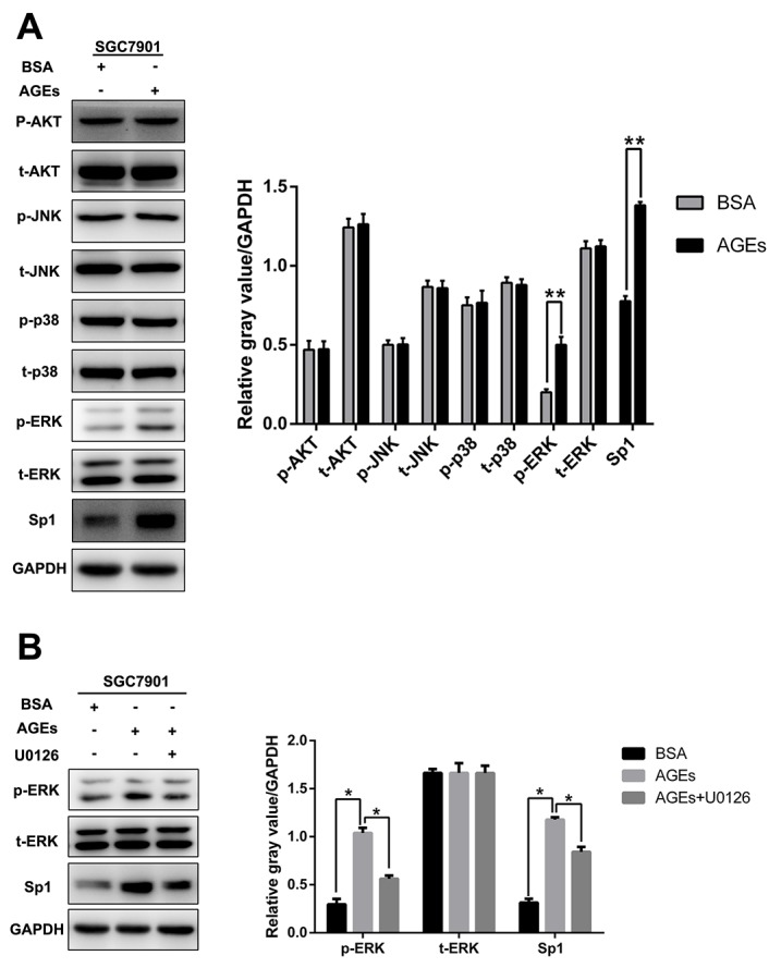 AGEs upregulated Sp1 expression through ERK activation (A) The level of p-AKT, p-ERK, p-JUK, p-p38, and Sp1 protein expression. (B) Incubation of MEK1/2 inhibitor, U0126 (10μM), for 48 hours reduced AGEs-induced Sp1 expression. ( ** p