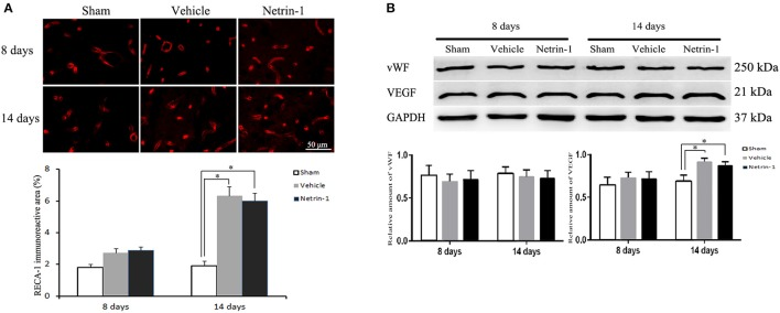 Detection of endothelial cells in the ipsilateral thalamus. (A) Representative images of RECA-1 (red) by immunofluorescence. (B) Western blot analysis. The positive area of RECA-1 and the protein level of VEGF were increased 14 days after MCAO. Netrin-1 infusion did not change the positive area of RECA-1 or the protein levels of vWF and VEGF after MCAO. * P