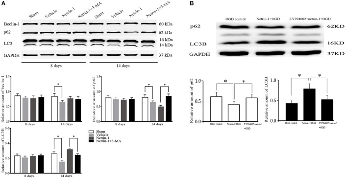 Western blot analysis of autophagy-related protein beclin-1, p62 and LC3. (A) Netrin-1 infusion increased autophagy activity 14 days after MCAO compared with the vehicle group, suppressed by PI3K inhibitor 3-MA. (B) Netrin-1 (50 ng/mL) enhanced autophagy activity after OGD while PI3K inhibitor LY294002 suppressed the effect of netrin-1. * P