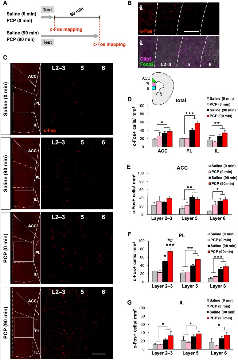 Quantification of c-Fos+ cells in the frontal cortex of chronic saline and PCP-treated mice. (A) Schematic illustration of brain sampling schedule for brain-wide c-Fos mapping after working memory task. The timing of sampling for c-Fos immunohistochemistry is indicated with the red dashed lines. (B) Representative c-Fos staining (red) in the PL (B, top). Representative double staining for a layer 5 (and 6) marker, Ctip2 (magenta), and a layer 6 marker, Foxp2 (green), in sections adjacent to those used for c-Fos immunostaining in the PL (B, bottom). Scale bar, 100 μm. (C) Fluorescence microscopy images of c-Fos staining (red) in the frontal cortex of chronic saline- or PCP-treated mice. Scale bars, 100 μm. (D) Quantification of the total number of c-Fos+ cells in the ACC, PL, and IL of chronic saline- (0 min: n = 4, 90 min: n = 5) and PCP-treated mice (0 min: n = 4, 90 min: n = 5). (E–G) Quantitative laminar-specific c-Fos mapping in the ACC (E), PL (F) and IL (G). * p
