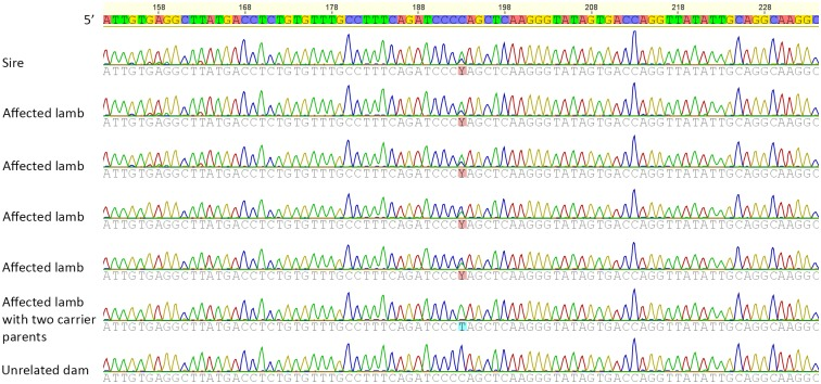 Chromatogram showing the location of the mutation Y: C/T in heterozygous, affected, and unrelated normal sheep. The c.46C > T variant was determined after whole genome sequencing using Illumina HiSeq 2000 machine, aligning to the reference sheep genome (Oar3.1) using BWA-MEM, calling variants with GATK 3.4–46, and predicting variant effects with SnpEff 4.1.
