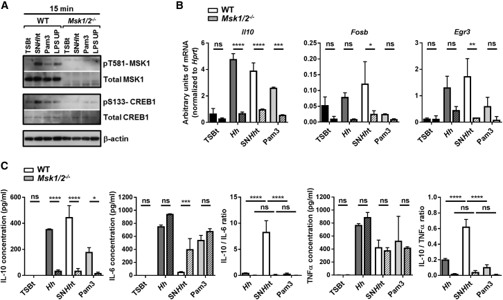 MSK1/2 Is Essential to the Anti-inflammatory Properties of SN Hh t (A) Western blot showing the phosphorylation of CREB1 S133 and MSK1 T581 and the total CREB1 and MSK1 protein amounts in WT and Msk1/2 −/− BMDMs after 30 min stimulation with TSBt, SN Hh t, Pam3, or LPS UP. (B) mRNA levels of Il10 , Fosb , and Egr3 genes in BMDMs from WT or Msk1/2 −/− mice after 1 hr stimulation. (C) Induction of IL-10, IL-6, and TNFα; IL-10/IL-6; and IL-10/TNFα protein ratios in BMDMs from WT or Msk1/2 −/− mice after 10 hr stimulation. One of three independent experiments. Two-way ANOVA and Sidak's and/or Tukey's multiple comparisons tests, p