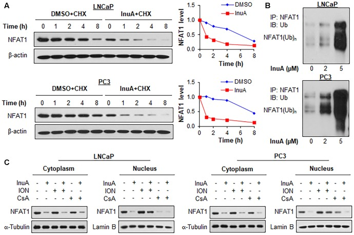 Inulanolide A promotes NFAT1 protein degradation and inhibits NFAT1 nuclear translation. (A) LNCaP and PC3 cells were treated with InuA (2 μM) for 24 h, followed by exposure to a protein synthesis inhibitor, cycloheximide (CHX, 15 μg/mL). The protein expression levels of NFAT1 were detected by Western blotting at the indicated times after exposure to CHX. Graphs (on the right) show the quantification of the immunoblotting data. (B) LNCaP and PC3 cells were co-transfected with NFAT1 and ubiquitin plasmids, followed by treatment with InuA at the indicated concentrations for 24 h. Cell lysates were subjected to immunoprecipitation with an anti-NFAT1 antibody. The ubiquitinated NFAT1 was detected using an anti-ubiquitin antibody. (C) LNCaP and PC3 cells were treated with InuA (2 μM) in the presence or absence of ionomycin (ION; 4 μM) or cyclosporine A (CsA; 2 μM) for 24 h. The nuclear and cytosolic proteins were extracted and examined by Western blotting. Lamin B and α-tubulin were, respectively, used as the internal references for the nuclear and cytosolic extracts. Data are representative of three or more experiments.