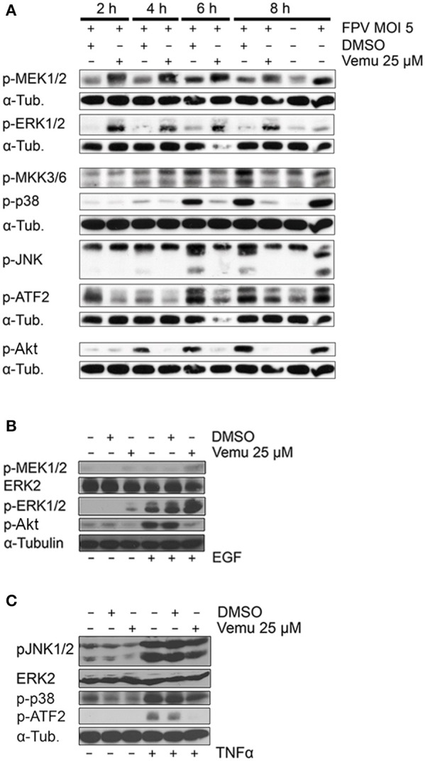 Vemurafenib hyperactivates the Raf/MEK/ERK pathway while inhibiting various cellular signaling cascades. (A) Analysis of the effects of Vemurafenib on IAV-induced cellular signaling pathways by western blot. A549 cells were infected with FPV (MOI 5) and subsequently treated with Vemurafenib (25 μM) or DMSO, respectively. Total cell lysates were harvested at the times indicated. Activity of the Raf/MEK/ERK pathway was analyzed by detection of phosphorylated kinases MEK1/2 and ERK1/2. JNK and p38 MAPK pathway activities were elucidated by analysis of JNK1/2 and p38 phosphorylation as well as by detection of phosphorylation of upstream kinases MKK3/6 and downstream target ATF2. Activity of the PI3K/Akt pathway was determined by detection of Akt phosphorylation. Alpha-tubulin served as loading control. (B,C) Stimulation of Vemurafenib-treated A549 cells with EGF (30 ng/ml) for 5 min (B) or TNFα (5 ng/ml) for 30 min (C) . Activity of different cellular signaling pathways was analyzed by western blot. ERK2 and alpha-tubulin served as loading controls. (A–C) Blots are representative of three independent experiments.