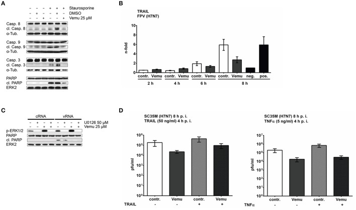 Vemurafenib inhibits IAV-induced apoptosis by interfering with cytokine expression. (A) A549 cells were treated with Vemurafenib (25 μM), DMSO or left untreated and were stimulated with Staurosporine (1 μM) for 5 h. Cleavage of caspases 8, 9, and 3 as well as PARP was visualized by western blot of total cell lysates. ERK2 and alpha-tubulin served as loading controls. Blots are representative of three independent experiments. (B) Expression levels of TRAIL mRNA in FPV-infected (MOI 5) A549 cells which were subsequently treated with Vemurafenib (25 μM) or DMSO, respectively. Untreated samples served as negative (uninfected) and positive control (infected). Results are depicted as mean n -fold expression (±SEM) of three independent experiments normalized to negative control. Data were analyzed for statistical significance by Kruskal–Wallis test followed by Dunn's multiple comparisons test. (C) A549 cells were pre-incubated with U0126 (50 μM) for 90 min and Vemurafenib (25 μM) for 60 min or DMSO before transfection of 500 ng total RNA isolated from infected A549 cells (vRNA; FPV, MOI 5, 8 h). Total RNA from uninfected cells (cRNA) was used as control. Phosphorylation of ERK1/2 was confirmed by immunostaining with phospho-specific antibodies. Apoptosis induction was analyzed by detection of cleaved PARP. Equal loading was confirmed by staining of ERK2. Blots are representative of three independent experiments. (D) A549 cells were infected with H7N7 (SC35M) and afterwards treated with Vemurafenib (25 μM) or DMSO, respectively. Cells were stimulated with human TRAIL (50 ng/ml) (left panel) or human TNFα (5 ng/ml) (right panel) 4 hpi. Infectious virus particles in the supernatant were measured 8 hpi by standard plaque assay and are depicted as mean (± SD ) of three independent experiments. Statistical significance was analyzed by one way ANOVA followed by Sidak's multiple comparisons test.