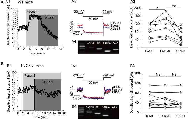 Fasudil potently augments Kv7.4 currents in DRN 5-HT neurons. (A1) Sample time course shows that fasudil (30 μM) augments Kv7 current, which is completely blocked by XE991 (3 μM) in neurons from WT mice. (A2) Voltage clamping protocol and the corresponding current traces recorded from (A1) . (A3) Summarized data for the experiment shown in (A1) (Wilcoxon Singed Ranks Test, * P