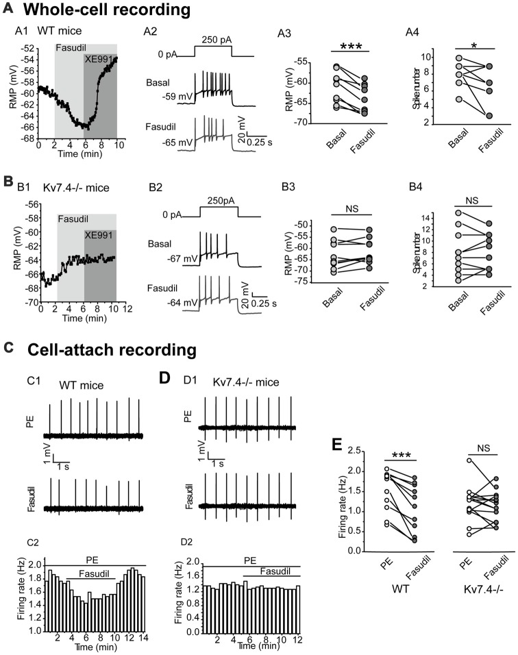 Kv7.4 activity modulates the excitability of the DRN 5-HT neurons. (A,B) Effects of fasudil on the elicited firing activity of DRN 5-HT neurons from WT mice and Kv7.4 −/− mice. (A1) Fasudil (30 μM) significantly hyperpolarized resting membrane potential (RMP) and the effect completely reversed by XE991 (3 μM) in WT mice. (A2) Typical traces with firing activity elicited by depolarizing 250 pA current injection, recorded from a neuron of WT mice. (A3) Summary of RMP in response to fasudil (30 μM) in WT DRN 5-HT neurons (paired samples test, *** P