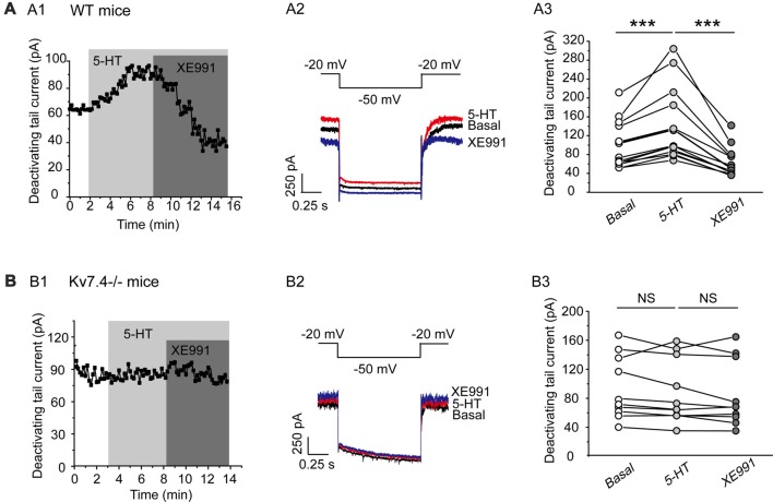 5-HT augments Kv7.4 currents in DRN 5-HT neurons. (A1) Sample time course shows that 5-HT (30 μM) induced a sharp augmentation of Kv7 current and the augmentation was completely reversed by XE991 (3 μM) in DRN 5-HT neurons of WT mice. (A2) Voltage clamping protocol and representative current traces recorded from (A1) . (A3) Summarized data for experiments shown in (A1) (Wilcoxon Signed Ranks Test, *** P