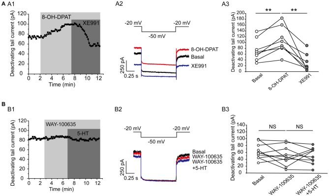 Kv7.4 is a regulation target of 5-HT 1A auto-inhibition. (A1) 5-HT 1A receptor agonist 8-OH-DPAT increased the Kv7 current in DRN 5-HT neurons of WT mice and the effect was reversed by <t>XE991.</t> (A2) Voltage clamping protocol and the corresponding traces recorded from (A1) . (A3) Summarized data for experiments shown in (A1) (paired samples test, ** P