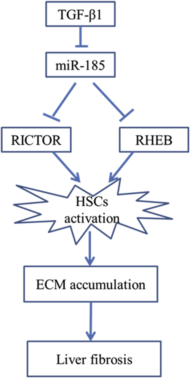 Schematic TGF-β1-induced activated HSCs also downregulate miR-185 concomitant with increased expression of RHEB and RICTOR. miR-185 prevents liver fibrogenesis by inhibiting HSC activation through inhibiting RHEB and RICTOR.