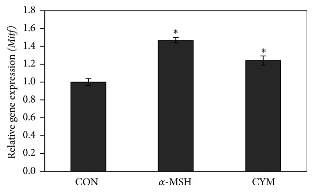 Effect of Cymbopogon schoenanthus ethanol extract on the mRNA expression level of microphthalmia-associated transcription factor (Mitf) determined using TaqMan real-time quantitative PCR. B16 cells were cultured in 100 mm dish (3 × 10 6 cells/dish) and treated without (CON) or with 1/1000 (v/v) C. schoenanthus ethanol extract (CYM), using 400 nm alpha-melanocyte-stimulating hormone ( α -MSH) as a positive control, and incubated for 4 h after which RNA was extracted, and then reverse transcription PCR was carried out to obtain cDNAs that were used for real-time PCR (ABI 7500 Fast Real-time PCR system). Results represent the mean ± SD of three independent experiments. ∗ Statistically significant ( P ≤ 0.05) difference between control and treated cells.