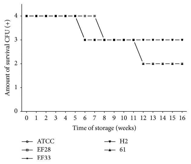 Pneumococcal survival-time curves based on the number of viable CFU of pneumococcal strains: EF28 (serotype 23F), EF33 (nontypeable), H2 (serotype 11), 61 (nontypeable), and S. pneumoniae ATCC 49619 strains stored on TH-HYC agar, along test 2 (the number of viable CFU at 16 wk was 2+ for EF28 and 61 strains and 3+ for ATCC, EF33, and H2 strains). CFU (+): the number of CFU was expressed as crosses of growth in the recovery plate. TH-HYC: Todd-Hewitt/Hemoglobin/Yeast/Charcoal.