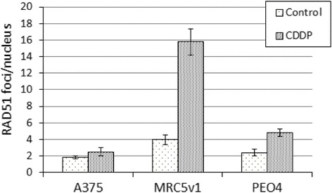 RAD51 DNA repair foci are not induced by short term cisplatin treatment of melanoma cells. A375 melanoma, MRC5v1 immortalised fibroblasts and PEO4 ovarian cancer cells growing on coverslips were treated for 24 h with 6 μM cisplatin and the number of RAD51 foci in treated and control cultures was determined by RAD51 immunofluorescence of fixed cells. Graph shows the mean number of RAD51 foci per nucleus (±SEM) for treated and control cultures. Between 40 and 60 nuclei were scored for each cell type and treatment. Representative images are shown in Additional file 1 : Figure S2