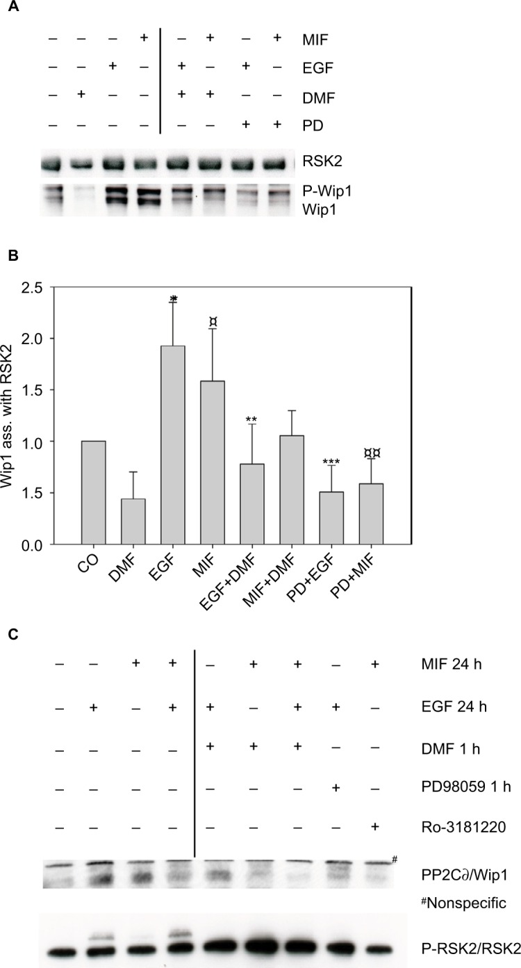 ( A ) Complex formation of Wip1 with RSK2 in human keratinocytes was induced by EGF and MIF. Keratinocytes were either left alone or preincubated with DMF (140 µM) or PD98059 (50 µM) for 1 hour and stimulated with EGF (2 ng/mL) or MIF (100 ng/mL) for 24 hours. Whole cell extracts were immunoprecipitated with anti-RSK2 antibody and analyzed by WB with anti-Wip1 (H-300) (sc-20712 epitope C-terminus) and anti-RSK2; 1 representative gel is shown. ( B ) Densitometry of 6 different experiments from pooled data shows the ratio of P-Wip1/Wip1 (both) associated with RSK2. EGF-stimulated versus (co) untreated cells * p =0.003; MIF stimulated versus (co) untreated cells ¤ p =0.037; EGF-stimulated versus (DMF and EGF) ** p =0.008; MIF-stimulated versus (DMF and MIF) p =0.059; EGF-stimulated versus (PD98059 and EGF) *** p