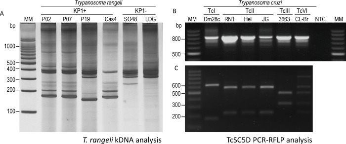 Genetic characterization Trypanosoma cruzi and Trypanosoma rangeli strains. (A) kDNA analysis of T . rangeli strains in a silver stained 6% polyacrylamide gel containing PCR products obtained with primers S35/S36/KP1L. The presence of a 165-bp band indicates the presence of KP1 minicircles. (B) Detection of the 832-bp fragment of TcSC5D gene in T . cruzi strains and clone. (C) PCR–RFLP of TcSC5D products digested with Hpa I and Sph I enzymes. MM: Molecular marker 100bp. NTC: No-template control.