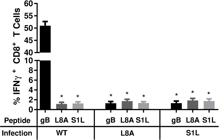 Stimulation of acute TG-resident CD8 +  T cell populations with WT, SIL, or L8A gB peptides. B6 mice received corneal infections with HSV-1 expressing WT, S1L, or L8A gB. TG were obtained at 8 dpi, dispersed into single cell suspensions, and the endogenous CD8 +  T cells were stimulated for 6 hours with B6WT3 fibroblasts pulsed individually with WT, S1L, or L8A gB 498-505  peptides, in the presence of brefeldin A. Cells were surface stained for CD45 and CD8, followed by an intracellular stain for IFNγ. The data are represented as the mean percentage of CD8 +  T cells that produced IFNγ +/- SEM (n = 5 mice per group). * represents significance of p