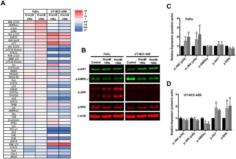 Analysis of signaling pathways targeted by miR-196a and miR-196b. Total protein lysates from UT-SCC-42B and FaDu cells transfected with either premiR-196a, premiR-196b or non-targeting control were applied to a proteome phospho-kinase array. ( A ) Relative signal intensity values (to control-transfected cells) are displayed as a heat map. ( B ) Western blot validation of the array data. ( C ) and ( D ) Quantification of IRDye fluorescent signals. *p