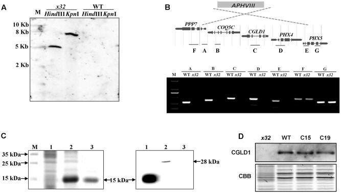 Genetic analysis of the x32 mutant. (A) DNA blot analysis of wild-type and x32 . Genomic DNA was digested with Hind III and Kpn I, fractionated by agarose gel electrophoresis and hybridized with a DNA probe of 407bp of APHVIII gene. (B) Mapping of the deletion in x32 caused by insertion of the paromomycin resistance cassette ( APHVIII ) by comparative analysis of wild-type and x32 DNA using PCR specific primer pairs. (C) Heterologous expression of recombinant CGLD1 protein and specificity of CGLD1 antibody. Coomassie-stained SDS-PAGE gel separating proteins extracted from Escherichia coli cells (left panel). M, protein molecular mass marker. 1 and 2, total proteins without or with isopropyl β- D -1-thiogalactopyranoside (IPTG) induction, respectively. 3, recombinant CGLD1 purified using Ni-NTA column. Specificity detection of the CGLD1 antibody by immunoblotting (right panel). Lane 1, purified recombinant CGLD1 protein (0.02 μg). Lanes 2 and 3, proteins (20 μg) extracted from wild-type and x32 , respectively. (D) Immunoblot detection of CGLD1 in wild-type, x32 and the complemented strains C15 and C19. Membrane proteins (20 μg per lane) were separated by SDS-PAGE (16%) followed by immunoblotting with the CGLD1 antibody.