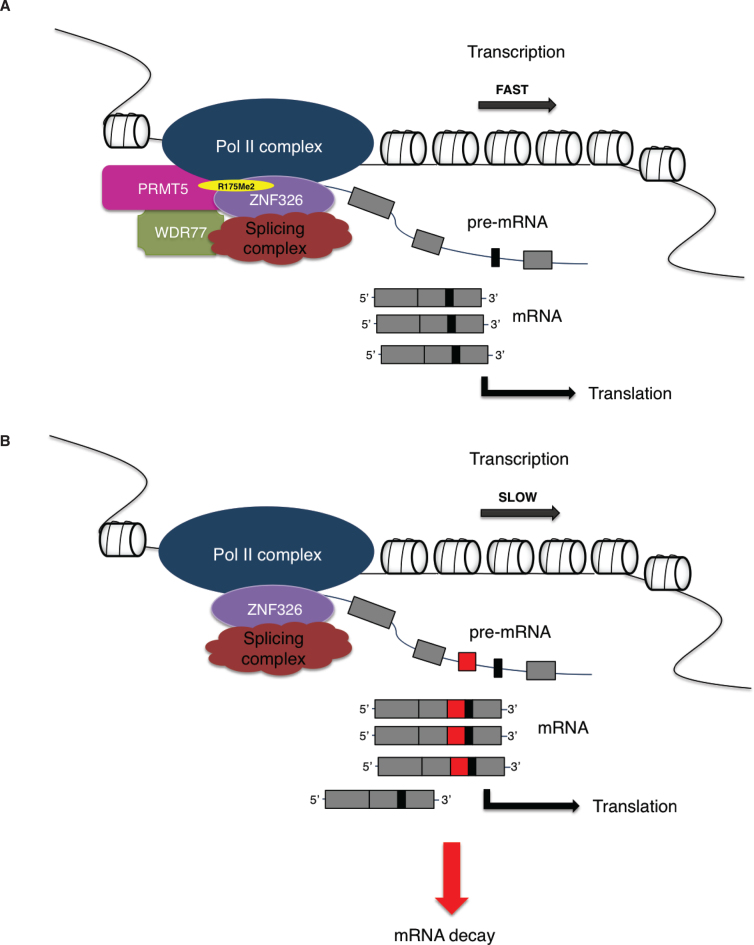 The PRMT5/WDR77 complex shapes the transcriptome of MDA-MB-231 cells through methylation of ZNF326. Methylation of ZNF326 by the PRMT5/WDR77 complex is essential for Pol II transcription across A-T rich genes. Loss of PRMT5 or WDR77 leads to a loss of methylation of ZNF326 that results in slow progression of Pol II causing the inclusion of A-T rich exons in target genes. A subset of these transcripts is targeted for degradation thereby altering the shape of the transcriptome of the cell. ( A ) Represents the influence of PRMT5/WDR77 to coordinate the rate at which transcription may help determine splicing patterns, where, the absence of PRMT5/WDR77 ( B ) effects the rate and aberrant inclusion of exons.