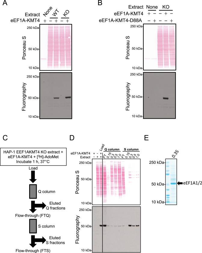 Identification of eEF1A proteins as candidate substrates for eEF1A-KMT4. ( A ) eEF1A-KMT4-mediated methylation in protein extracts. Protein extracts from HAP-1 wild-type (WT) or EEF1AKMT4 KO cells were incubated with [ 3 H]-AdoMet and with recombinant eEF1A-KMT4 as indicated. Top panel, Ponceau S-stained membrane of sodium dodecyl sulphate (SDS-PAGE)-separated methylation reactions. Bottom, visualization of methylation by fluorography of membrane in upper panel. ( B ) Mutation of D88 abrogates the enzymatic activity of eEF1A-KMT4. Protein extract from HAP-1 EEF1AKMT4 KO cells incubated with [ 3 H]-AdoMet in the presence of either recombinant WT eEF1A-KMT4 or the corresponding D88A mutant protein. Reactions were analyzed as in (A). ( C ) Outline of chromatography based enrichment strategy for eEF1A-KMT4 substrates. In vitro methylated protein extract was loaded onto an anion exchange (Q) column and, in turn, the flow-through (FTQ) was loaded onto a cation exchange (S) column. Proteins were eluted from both columns with a step gradient of increasing NaCl. ( D ) Enrichment of the ∼50 kDa eEF1A-KMT4 substrate. Proteins were eluted from ion exchange columns with a step gradient ramped from 150 mM (0.15) to 1 M (1.0) NaCl according to the scheme depicted in (C). Collected fractions were analyzed by fluorography as in (A). ( E ) SDS-PAGE analysis of the main substrate-enriched fraction (0.3S). The fraction containing the bulk of methylated substrate in (D) eluted at 300 mM NaCl from the S column (0.3S). The most prominent proteins in the major ∼50 kDaband were identified as eEF1A1 and eEF1A2 by mass spectrometry (MS) (See Table 1 ).