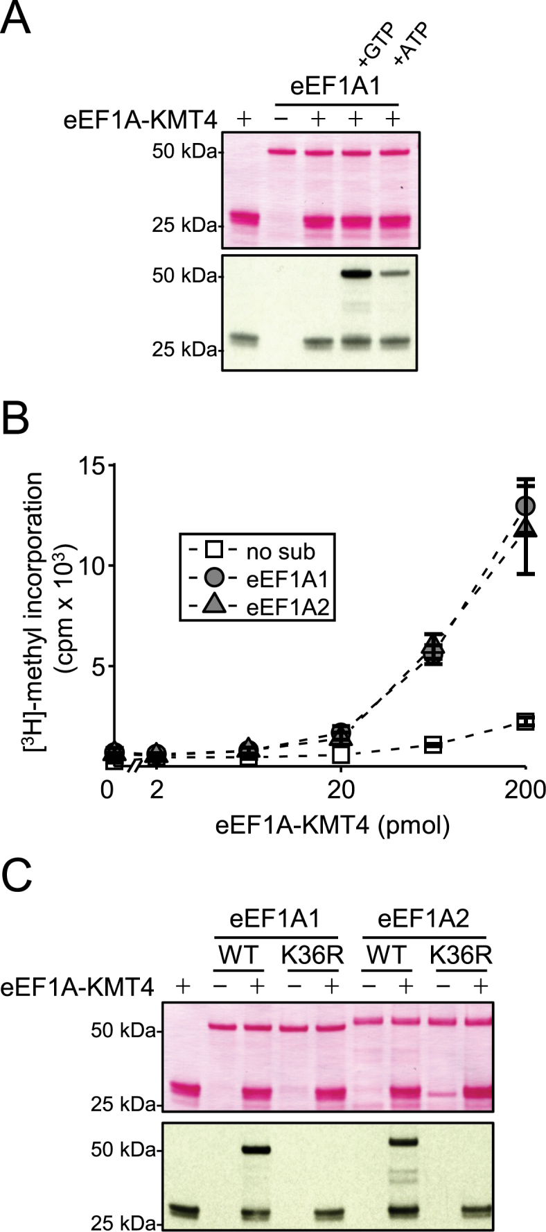eEF1A-KMT4-mediated methylation of K36 in eEF1A proteins in vitro . ( A ) Nucleotide-dependent methylation of recombinant eEF1A1 by eEF1A-KMT4. Recombinant eEF1A1 was incubated with [ 3 H]-AdoMet and eEF1A-KMT4, as well as with adenosinetriphosphate (ATP) or GTP as indicated. Top, Ponceau S stained membrane of proteins. Bottom, visualization of methylation by fluorography of membrane in upper panel. ( B ) Comparison of eEF1A1 and eEF1A2 as substrates for eEF1A-KMT4-mediated methylation. Recombinant eEF1A1 or eEF1A2 was incubated with varying amounts of eEF1A-KMT4. Methylation was quantified as trichloroacetic acid (TCA)-insoluble radioactivity. Error bars represent the standard deviation ( n = 3). ( C ) Evaluation of eEF1A point mutants as substrates for eEF1A-KMT4-mediated methylation. WT eEF1A1 and eEF1A2 or the corresponding Lys36→Arg (K36R) mutant proteins were incubated with recombinant eEF1A-KMT4 in the presence of [ 3 H]-AdoMet. Reactions were analyzed as in (A). Note: In panels (A) and (C), automethylation of recombinant eEF1A-KMT4 is observed, but such automethylation was not observed in the experiments shown in Figure 2A , B and D . This apparent discrepancy is likely because less enzyme and of lower specific activity, was used in Figure 2 .