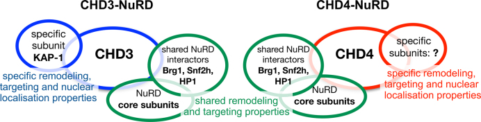 CHD3 and CHD4 form distinct NuRD complexes with different yet overlapping functionality . Our experiments propose that CHD3 and CHD4 form isoform-specific NuRD complexes in living cells, harboring one single copy of the respective remodeling enzyme. Beside well known 'shared' core subunits like HDAC1/2 or MTA2/3 proteins, we found Brg1, Snf2h and HP1 to be associated with both CHD3- and CHD4-containing NuRD complexes. DNA damage experiments, performed in this study, suggest that both CHD3- and CHD4-containing NuRD complexes exert a role in the DNA damage response. Nevertheless, an individual role of mouse CHD3 in DSB repair was proposed by the CHD3 specific binding protein KAP-1 ( 11 , 81 ). In addition to interaction partners that might act as functional NuRD regulators, we propose intrinsic remodeling properties as another possibility to influence the physiological role of NuRD complexes in vivo . Nucleosome remodeling assays with recombinant, single CHD3 and CHD4 proteins revealed that both enzymes move nucleosomes to distinct, sequence-specific positions, supporting the idea of CHD remodeling enzymes acting as chromatin specific organizers. In line with this, we observe mainly distinct nuclear localization patterns for CHD3- and CHD4-NuRD complexes in living cells, arguing for the existence of structurally and spatially separated complexes acting independently from each other in different genomic regions with a putative effect on gene activity. Indeed, our RNA-seq and qPCR experiments showed that CHD3 and CHD4 mainly regulate distinct genes. Taken together our data suggest that CHD3 and CHD4 form distinct NuRD complexes with different yet overlapping functionality (see also Results and Discussion).