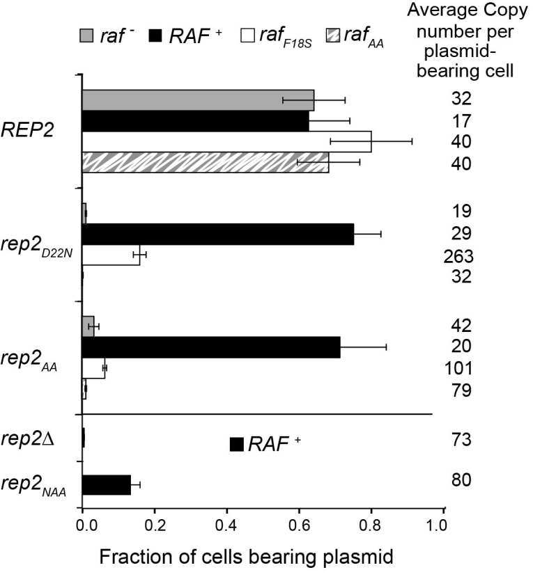 Raf is required for partitioning competence of Rep2 D22N and Rep2 AA . A cir 0 yeast strain was transformed with kanMX4 -tagged, amplification-incompetent ( flp − ) 2-μm plasmids (pKan-based) carrying a wild-type REP1 gene and the indicated version of the REP2 and RAF genes. Due to the absence of a functional FLP gene, plasmid missegregation events cannot be corrected by Flp-mediated copy number amplification, making efficient maintenance of the pKan-based plasmids dependent on Rep protein partitioning function. Transformants were cultured overnight (six to eight generations) in selective medium, and the fraction of plasmid-bearing cells determined by a plating assay. Results represent the average (±s.d.) of five independent transformants for each plasmid. Plasmid copy number in each culture was determined by polymerase chain reaction (PCR) using total DNA extracted from the transformants as template and quantifying the ratio of product obtained with primers specific for a plasmid relative to a chromosomal locus. This value was then corrected for the fraction of cells in the population containing plasmid to obtain the average plasmid copy number per plasmid-bearing cell (See Supplementary Figure S6 for details).