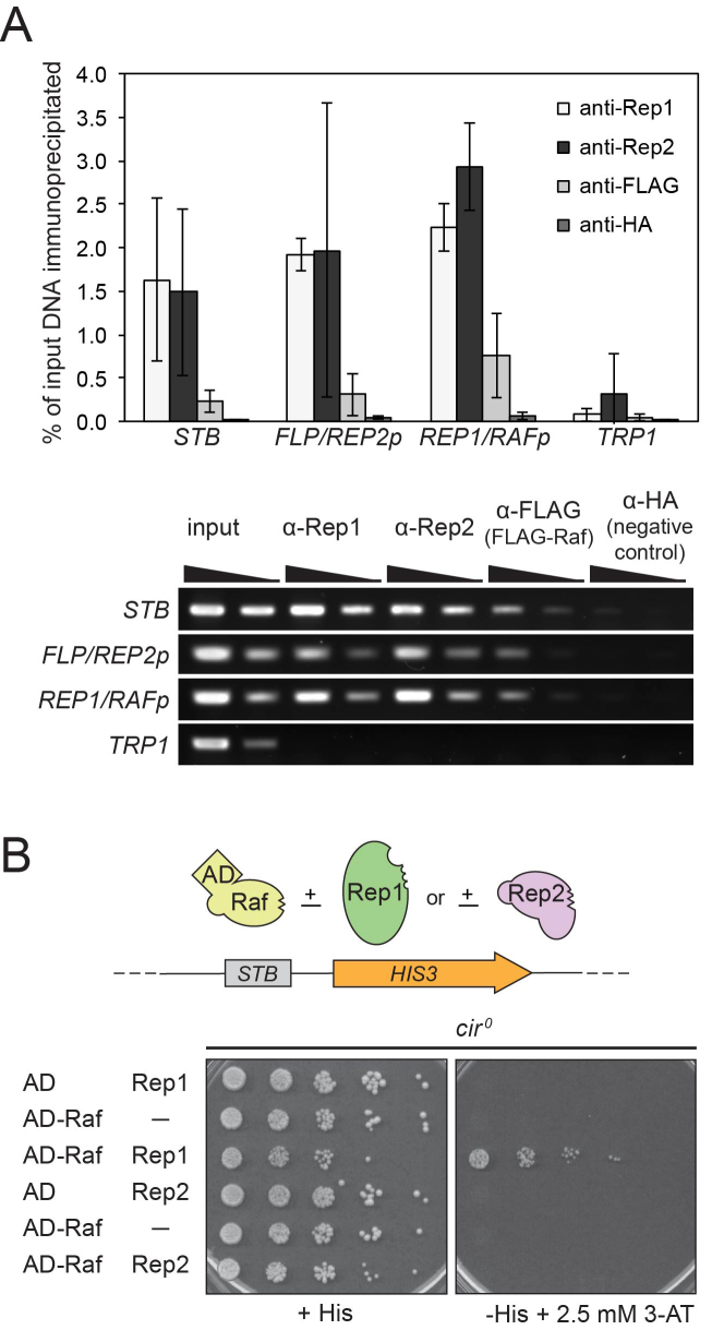Raf associates with STB and 2-μm plasmid gene promoters, and association with STB is dependent on Rep1. ( A ) A cir + yeast strain was transformed with an ARS/CEN plasmid expressing FLAG-tagged Raf under the control of a galactose-inducible promoter. Transformed yeast were cultured in medium containing galactose and chromatin was immunoprecipitated with antibodies specific for native Rep1 and Rep2, anti-FLAG (FLAG-Raf) and, as a negative control, anti-HA. The precipitated DNA was analyzed by semi-quantitative PCR with primers specific for the STB locus, for the divergent FLP/REP2 and REP1/RAF promoter regions ( FLP/REP2p and REP1/RAFp ), and, as a negative control, a chromosomal locus ( TRP1 ). The bar graph indicates ChIP efficiency as the percent of input DNA immunoprecipitated; results are average (±s.d.) from triplicate assays. Ethidium bromide-stained agarose gels of PCR products from a representative assay are shown below the graph. Template DNA amplified in 'input' PCR reactions is 10% of that amplified in 'ChIP' PCR reactions. Products obtained from neat and 1:4 dilutions of each template are shown. ( B ) A cir 0 yeast strain with STB integrated in the chromosome upstream of a HIS3 reporter gene was co-transformed with two galactose-inducible expression plasmids: one expressing B42 AD -HA (AD) or B42 AD -HA-Raf (AD-Raf), and the second, expressing either no protein (−), or expressing Rep1 or Rep2. Five-fold serial dilutions of co-transformants were spotted onto solid media that selected for the presence of the two plasmids, with galactose to induce Rep protein expression, and either containing histidine (+His), or lacking histidine (−His) and containing 3-aminotriazole (3-AT). Growth on the −His + 3-AT medium indicates recruitment of the AD fusion protein to STB .