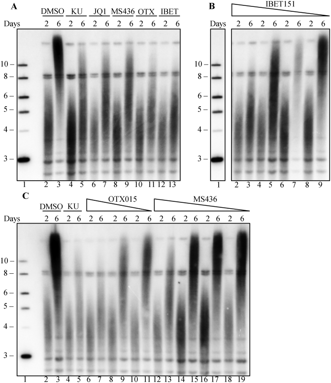 Three additional BRD4 inhibitors block telomere inhibition in a dose-dependent manner. Mouse fibroblasts transduced with SVA lentivirus were treated with four different BRD4 inhibitors: JQ1, IBET151, MS436 OTX015. ( A ) Southern blot of mouse fibroblast telomeric DNA, at days 2 and 6 post SVA transduction, grown in the presence of DMSO (lane 2–3), 10 μM KU-55933 (lane 4–5), 0.1 μM JQ1 (lane 6–7), 5 μM MS436 (lane 8–9), 0.5 μM OTX015 (lane 10–11) or 1 μM IBET151 (lane 12–13). ( B ) Dose dependence of IBET151. Southern blot of mouse fibroblast telomeric DNA, at days 2 and 6 post SVA transduction, in the presence of 1 μM (lane 2–3), 0.5 μM (lane 4–5), 0.25 (lane 6–7) or 0.125 μM (lane 8–9) IBET151. ( C ) Dose dependence of OTX015 and MS436. Southern blot of mouse fibroblast telomeric DNA, at days 2 and 6 post SVA transduction, in the presence of DMSO (lane 2–3), 10 μM KU-55933 (lane 4–5), 250 nM (lane 6–7), 125 nM (lane 8–9) or 62.5 nM OTX015 (lane 10–11), 5 μM (lane 12–13), 2.5 μM (lane 14–15), 1.25 μM (lane 16–17) or 0.625 μM (lane 18–19) MS436. Lane 1 in all panels shows the 2-log ladder marker (NEB), sizes marked are in kilobases. In Panel B, other lanes between the marker and IBET treated lanes were removed.