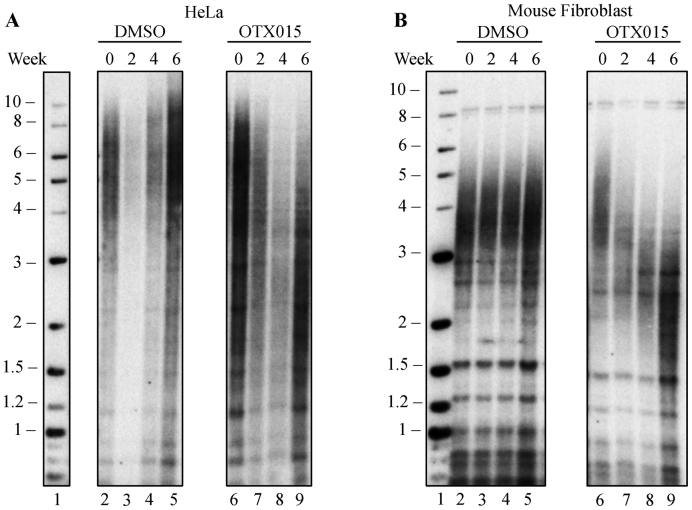 BRD4 inhibition causes telomere shortening in human and mouse cells in culture. ( A ) Southern blot of telomeric DNA from HeLa cells treated with DMSO (lane 2–5), or 2.5 μM OTX015 (lane 6–9) for 6 weeks, with samples taken at 2, 4 and 6 weeks of treatment. ( B ) Southern blot of telomeric DNA from mouse fibroblast cells, which were treated with DMSO (lane 2–5), or 0.5 μM OTX015 (lane 6–9) for 6 weeks, with samples taken at 2, 4 and 6 weeks of treatment.