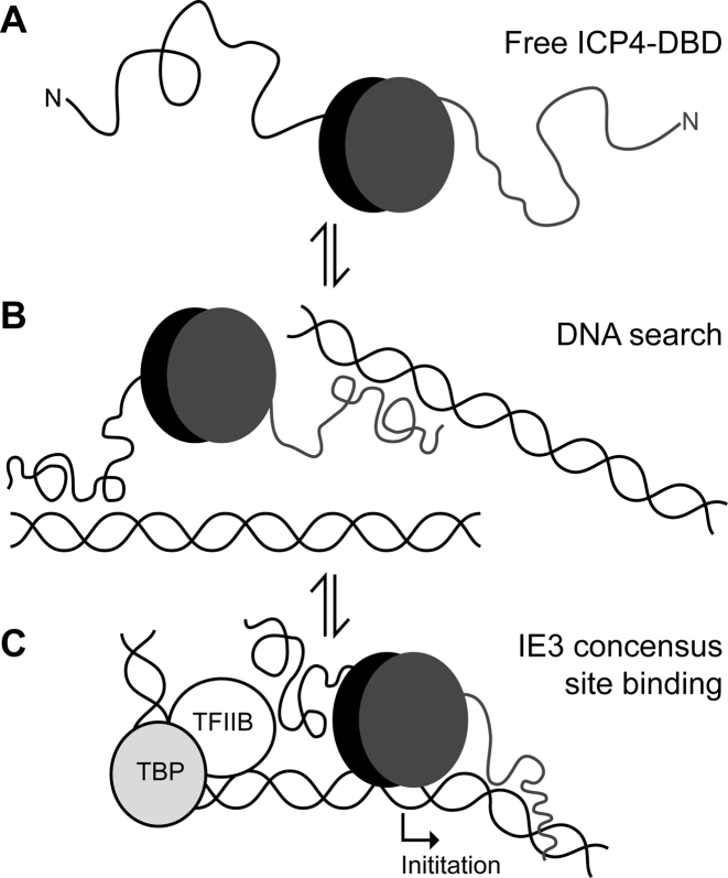 Model of action of the ICP4 DNA binding domain (DBD). The globular homo-dimer is represented by gray and black ovals and N-terminal IDRs by lines. ( A ) Free protein adopts an expanded conformation with the IDRs extended. ( B ) When not in contact with a DNA consensus site, ICP4-DBD and particularly the IDRs search DNA strands for sequence motifs. ( C ) Binding to the IE3 consensus site which overlaps with the transcription initiation site, ICP4 forms an asymmetric complex by the synergistic action of the globular region to the RTCGTC motif and an IDR with the downstream YnYSG motif. One IDR is not involved in specific DNA recognition and points upstream toward the TATA box, which is compatible with tripartite complex formation by the TATA binding protein, TFIIB and ICP4.