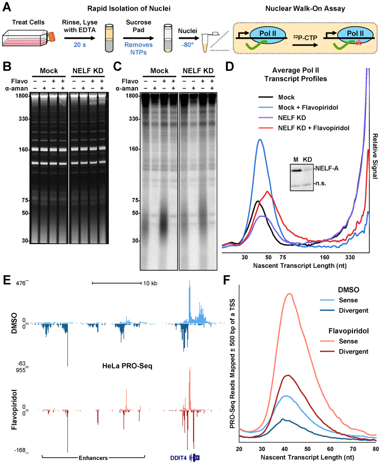 The nuclear walk-on assay quantitatively and precisely measures engaged Pol II. ( A ) Steps in the nuclear walk-on assay are illustrated. ( B ) Adherent HeLa cells were transfected 48 h before isolation of nuclei with 1.5 nM NELF-A siRNA (NELF KD) or lipid reagent only (Mock). Cells were also treated 1 h before isolation with 0.1% DMSO or 1 μM flavopiridol (Flavo). Nuclear walk-ons were performed using a 6 min α- 32 P-CTP pulse in the absence or presence of 2 μg/ml α-amanitin (α-aman). After 6% Urea-PAGE, ethidium bromide was used to visualize nuclear RNAs. A representative gel from nuclear walk-ons performed in triplicate is shown here. ( C ) Phosphorimage to visualize radiolabeled nascent transcripts from B. ( D ) Average amanitin-sensitive Pol II nascent transcript profiles from triplicate nuclear walk-ons as represented in B and C. For each replicate, signals from each lane in the phosphorimage were normalized using quantifications of cold nuclear RNAs in the ethidium bromide stain. Then, α-amanitin-insensitive signals were subtracted from total signals. Triplicate profiles (see Supplementary Figure S1 ) were then averaged as described in the Materials and Methods. Inset: western blot of NELF-A; a nonspecific band (n.s.) indicates even loading. ( E ) PRO-Seq paired-end reads over the DDIT4 gene and upstream enhancer regions. Adherent HeLa cells were treated 1 h with either 0.1% DMSO or 1 μM flavopiridol. ( F ) Plot of sense or divergent PRO-Seq fragments lengths near Pol II promoters.
