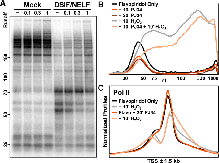 H 2 O 2 directly inhibits pausing by DSIF and NELF. ( A ) Elongation complexes were generated by first preincubating HeLa nuclear extract and immobilized template DNA for 30 min, and then pulsing with limiting α- 32 <t>P-CTP</t> for 30 s. Complexes were isolated by high salt wash and incubated 10 min with 1 mM DTT or indicated concentrations of H 2 O 2 . Addback mixtures containing buffer alone (Mock, lanes 1–4) or also containing 0.3 pmol DSIF and 0.6 pmol NELF (lanes 5–8) were also incubated 10 min with 1 mM DTT or indicated concentrations of H 2 O 2 prior to incubation with complexes for 5 min. Elongation rates were measured by chasing for 5 min with 500 μM cold ATP, UTP, GTP and CTP. 6% Urea–PAGE. ( B ) Amanitin-sensitive Pol II nascent transcript profiles from a nuclear walk-on using nuclei from adherent HeLa cells treated 50 min with 1 μM flavopiridol, then 10 min with 0.1% DMSO (flavopiridol only), 10 min with 50 μM PJ34, or 20 min with 50 μM PJ34. Cells were additionally treated 10 min with 0.3 mM H 2 O 2 as indicated. DMSO was 0.2% in all conditions. The vertical axis represents relative signal from Pol II and all curves were from the same gel. ( C ) Average normalized Pol II ChIP-Seq occupancies ±1.5 kb around 17592 EPDnew TSS. Suspension HeLa cells were treated 40 min with 1 μM flavopiridol, then 20 min with either 0.05% DMSO (flavopiridol only) or 20 μM PJ34. Cells were additionally treated 10 min with 0.3 mM H 2 O 2 as indicated. The vertical axis represents depth-adjusted signals that were background-subtracted and normalized using a window ±10 kb around genes.