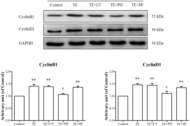 Effects of signaling pathway inhibitors on the TE-induced expression of CyclinB1 and CyclinD1. HUVECs were pretreated with TE (1 μg/ml) for 30 min in the presence or absence of inhibitors of Akt, ERK1/2 and JNK MAPK. LY: LY294002, PD: PD98059, SP: SP600125, Bay: Bay11-7082; ** P