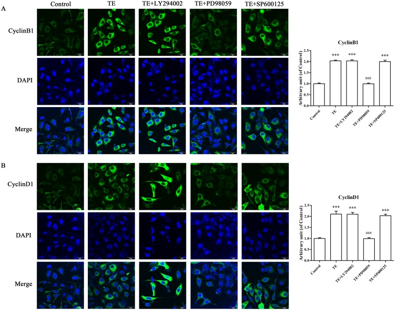 Effects of signaling pathway inhibitors on the TE-induced expression of CyclinB1 and CyclinD1. A: The expression of CyclinB1. B: The expression of CyclinD1. HUVECs were pretreated with TE (1 μg/ml) for 30 min in the presence or absence of inhibitors for Akt, ERK1/2 and JNK MAPK. Images were obtained by a fluorescence microscope at 600 × magnification, scale = 30 μm. *** P