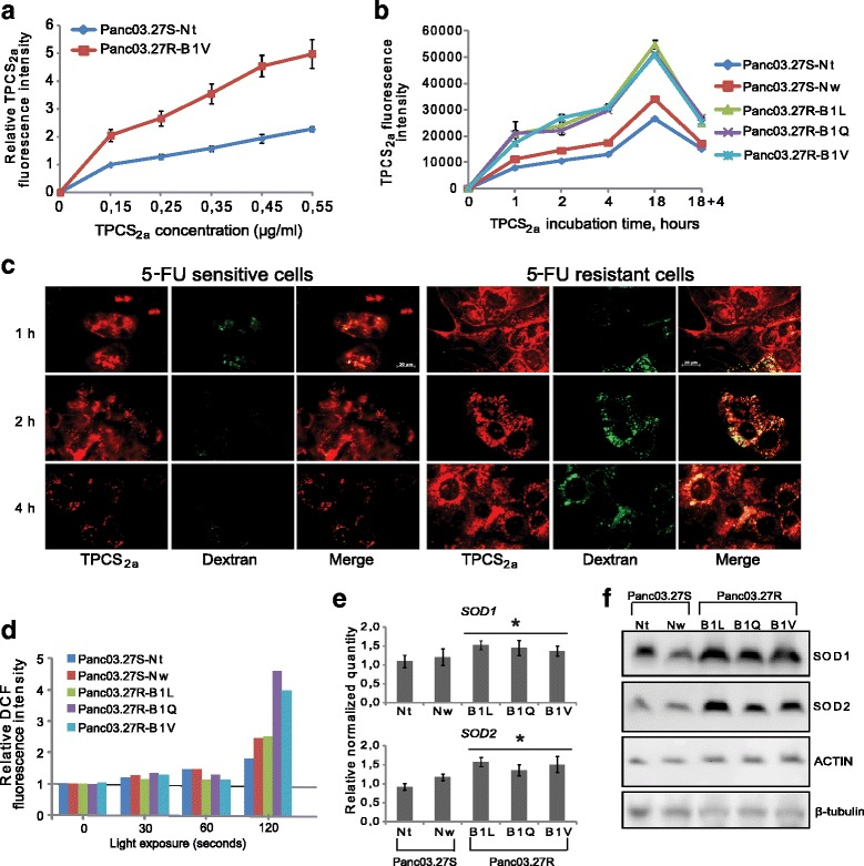 5-FU resistant pancreatic cancer cells display increased uptake and accumulation of TPCS 2a , and show increased ROS production following PCT. TPCS 2a accumulation with a increasing TPCS 2a concentration and b increasing incubation time. The graphs show the median TPCS 2a fluorescence intensities in live cells and show the average of three and two individual experiments, respectively (Error bars = S.E.). c Representative epi-fluorescence microscopy images of live 5-FU sensitive and 5-FU resistant cells harvested 1, 2 and 4 h after TPCS 2a incubation. Co-stain of TPCS 2a and Alexa488-Dextran is indicated by yellow fluorescence in the rightmost images. The experiment was performed once but was also verified for the B1Q and the B1L cells (data not shown), confirming the data in ( a ) and ( b ). The scale bar is 20 μm. d Relative ROS generation measured 1 h after light exposure, with increasing PCT (TPCS 2a + light) illumination doses (30–120 s). The graph shows normalized median DCF fluorescence intensities representative of three individual experiments. e RNA levels (relative quantity) of SOD1 and SOD2 in all cell lines, as measured by RT-qPCR. Error bars represent standard deviation. Statistically significant difference between 5-FU sensitive and 5-FU resistant lines ( P