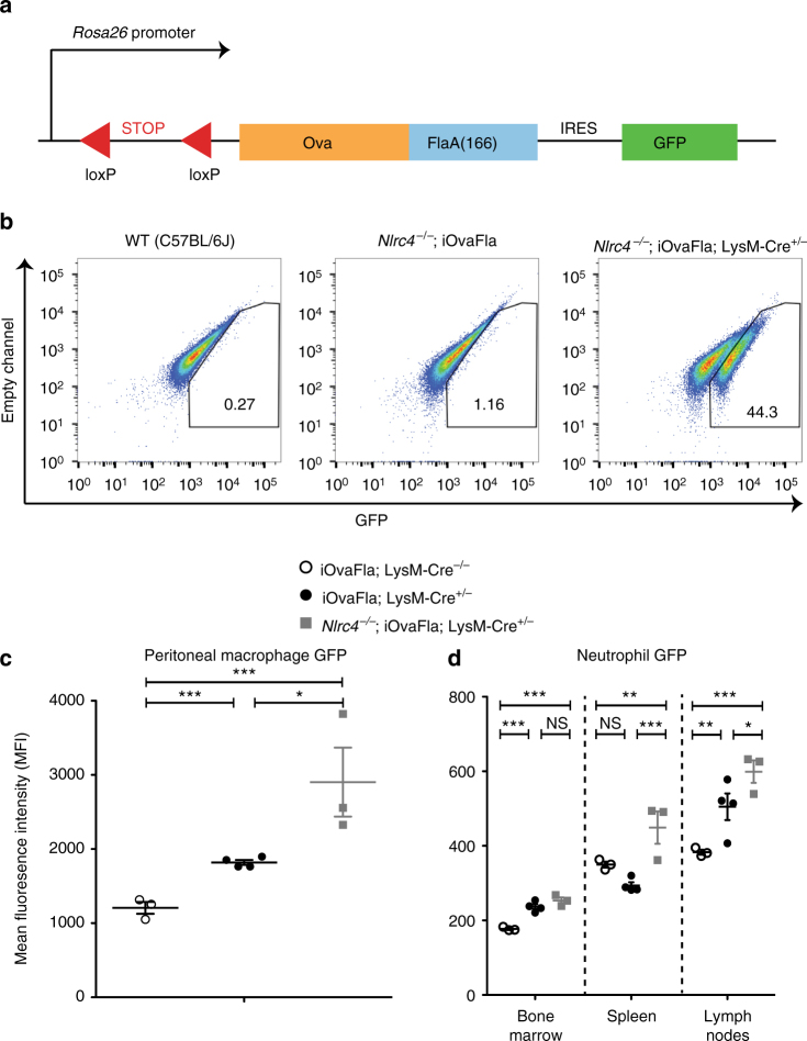 Genetic system for inducible NLRC4 inflammasome activation in vivo. a Schematic showing iOvaFla transgene insertion in the Rosa26 locus. b Flow cytometry analysis of bone marrow derived macrophages (BMMs) cultured from WT, Nlrc4 −/− ; iOvaFla and Nlrc4 −/− ; iOvaFla; LysM-Cre +/− mice (representative images from three biological replicates), c peritoneal macrophages (CD11b + F4/80 + ) from iOvaFla; LysM-Cre −/− , iOvaFla; LysM-Cre +/− , and Nlrc4 −/− ; iOvaFla; LysM-Cre +/− mice, and d neutrophils (CD11b + Ly6G Hi , Ly6C Lo ) from the bone marrow, spleens and lymph nodes. Data in b – d are representative of two independent experiments. Error bars are s.d. Results were analysed with a two-way ANOVA and Bonferroni post-tests; * p