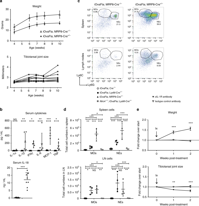Neutrophil iOvaFla expression is sufficient for inflammatory disease. a Weight and tibiotarsal joint swelling as iOvaFla; MRP8-Cre −/− and iOvaFla; MRP8-Cre +/− mice age ( n = 6 biological replicates per genotype). b Serum cytokines measured by a BD Biosciences cytokine bead array and IL-18 ELISA of 10–12-week-old mice. c Flow cytometry and d quantification of monocytes (MO; CD11b + Ly6C Hi Ly6G Lo ) and neutrophils (NE; CD11b + Ly6C Lo Ly6G Hi ). For each flow cytometry plot, the top row is from the spleen and the second row from peripheral and mesenteric lymph nodes. Each column represents a different genotype. e Weight and tibiotarsal joint measurements after OVA-Fla; MRP8-Cre +/− mice were administered either anti-IL-1R blocking antibody or isotype control every 3–4 days for 2 weeks ( n = 3 biological replicates per treatment). Data in b – d are representative of three independent experiments. Error bars are s.d. Results were analysed with either a Mann–Whitney test or two-way ANOVA and Bonferroni post-tests; * p